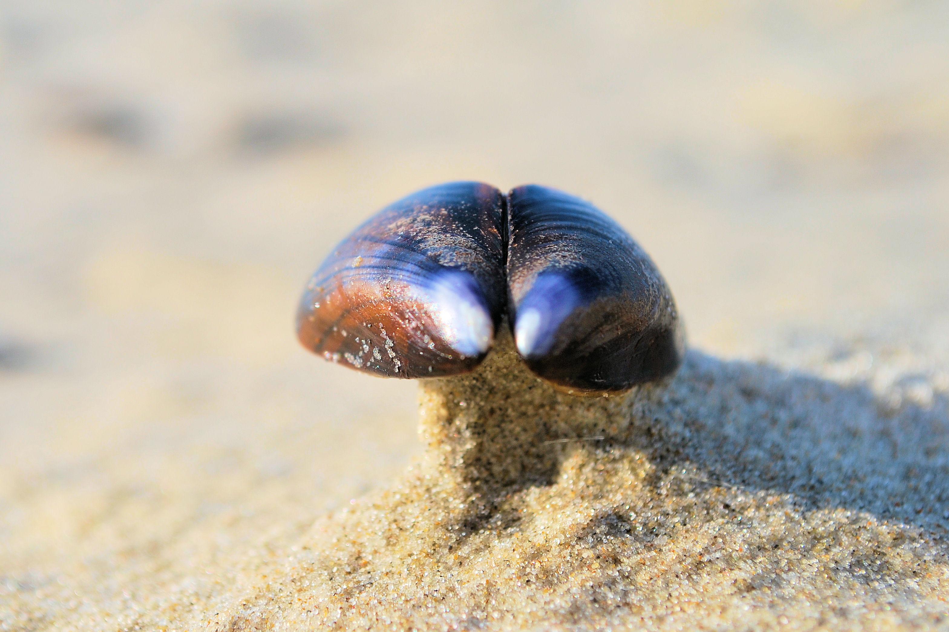 eine Muschel im Sand